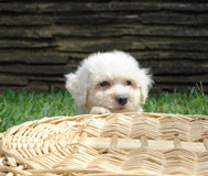 Bichon frise puppy 2. Pure breed bichon frise puppy peeking behind  a basket Royalty Free Stock Image