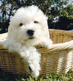 Bichon frise puppy. Purebreed bicho frise puppy in a basket Stock Photography