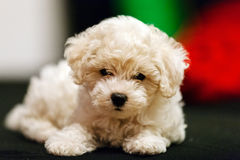 Bichon frise puppy. Cute small bichon frise puppy laying on sofa, notice shallow depth of field Stock Photo
