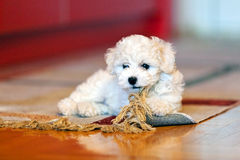 Bichon frise puppy. Cute small bichon frise puppy playing with rug, notice shallow depth of field Stock Images
