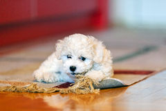 Bichon frise puppy. Cute small bichon frise puppy playing with rug, notice shallow depth of field Royalty Free Stock Images