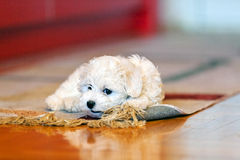 Bichon frise puppy. Cute small bichon frise puppy playing with rug, notice shallow depth of field Royalty Free Stock Image