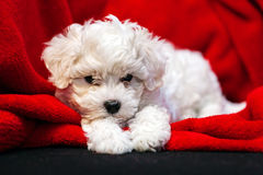 Bichon frise puppy. Cute small bichon frise puppy posing indoors, notice shallow depth of field Stock Photos