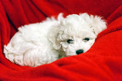Bichon frise puppy. Cute small bichon frise puppy posing indoors, notice shallow depth of field Stock Photography