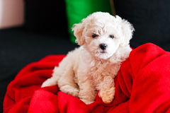 Bichon frise puppy Stock Photography