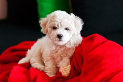 Bichon frise puppy. Cute small bichon frise puppy posing indoors, notice shallow depth of field Stock Images