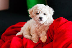 Bichon frise puppy. Cute small bichon frise puppy posing indoors, notice shallow depth of field Stock Photo