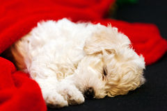 Bichon frise puppy. Cute small bichon frise puppy sleeping on sofa, notice shallow depth of field Royalty Free Stock Photography