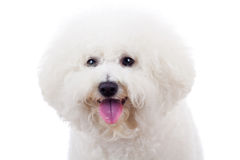Bichon frise puppy dog. Head of an adorable bichon frise puppy dog looking at the camera Stock Images