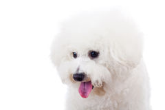 Bichon frise puppy dog looking at something Stock Image