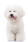 Bichon frise puppy dog winking at the camera Stock Photo