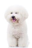 Bichon frise puppy dog winking at the camera. Panting bichon frise puppy dog winking at the camera on white background Stock Photo