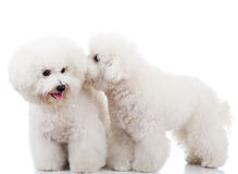 Bichon frise puppy dogs playing. Pair of adorable bichon frise puppy dogs playing and sniffing each other Royalty Free Stock Photo