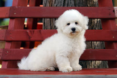 Bichon frise puppy. Bichon frize puppy sitting on a bench Stock Image
