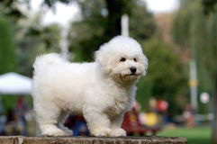 Bichon frise puppy Royalty Free Stock Photo