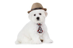 Bichon Frise puppy in a hat. Two months old Pure breed Bichon Frise puppy in a hat isolated on white background Royalty Free Stock Photos