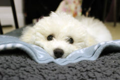 Bichon Frise puppy. Laying on blanket looking ahead Royalty Free Stock Photos