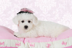 Bichon Frise puppy lying on the pink pillow. Two months old Pure breed Bichon Frise puppy in a hat lying on the pink pillow Royalty Free Stock Image
