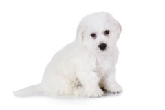 Bichon Frise puppy over white. Two months old Pure breed Bichon Frise puppy isolated on white background Royalty Free Stock Image