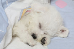 Bichon Frise puppy sleeping in the bed. Two months old Pure breed Bichon Frise puppy sleeping in the bed Royalty Free Stock Photos