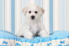 Bichon Frise puppy. Two months old Pure breed Bichon Frise puppy sitting on the blue pillow Royalty Free Stock Image