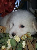 Bichon frise puppy. White bichon frise fluffy cutest dog Royalty Free Stock Photography