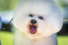 Bichon Frise ready for show. A small Dog Bichon Frise with a white coat ready for show stock photo