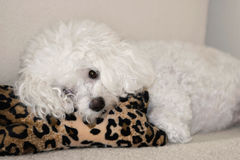 Bichon frise resting Royalty Free Stock Photography