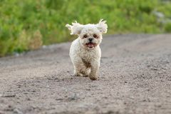 Bichon Frise Shih Tzu Mix Running Outside in Summer stock images