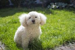 Bichon Frise. Sitting in the garden stock photo