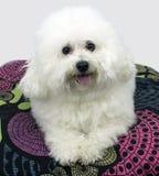 Bichon Frise, sobre la sentada blanca en la almohada Imagen de archivo libre de regalías