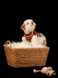 Bichon frise type dog sat in a basket. A fluffy white dog wearing a sweater  and sat in a basket, against a black backdrop Royalty Free Stock Photography