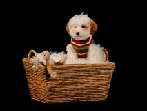 Bichon frise type dog sat in a basket. A fluffy white dog wearing a sweater  and sat in a basket, against a black backdrop Royalty Free Stock Photo