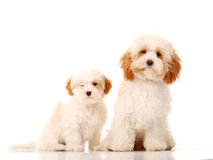 Bichon frise type dogs on white background. Two fluffy white dogs, parent and puppy, against a white backdrop, one stood one sitting royalty free stock photography