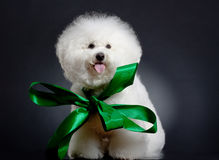 Bichon frise wearing a big green ribbon Royalty Free Stock Photography