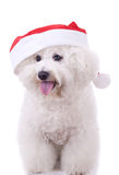 Bichon frise wears santa hat Stock Photos