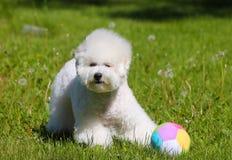 Bichon Frize使用与他在绿色草坪的喜爱的球 免版税库存照片