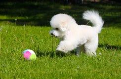Bichon Frize gioca con una palla sul prato inglese verde Il cucciolo attivo adorabile cammina di estate sull'erba Fotografia Stock Libera da Diritti