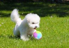 Bichon Frize joga com uma bola no gramado verde Fotografia de Stock Royalty Free