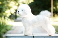 Bichon frize on nature background Stock Photos