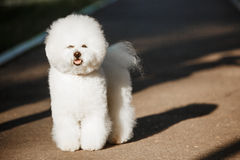 Bichon frize on nature background Royalty Free Stock Photography