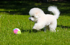 Bichon Frize plays with a ball on the green lawn. Lovely active puppy walks in summer on the grass. Royalty Free Stock Photo