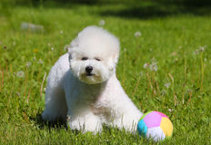 Bichon Frize plays with his favorite ball on the green lawn. Royalty Free Stock Photo