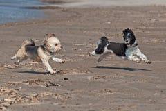 Bichon Havana spielt auf dem Strand lizenzfreies stockbild
