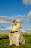 Bichon Havanais dog Royalty Free Stock Images