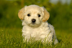 Bichon Havanais puppy dog. A Bichon Havanais puppy resting in the sun Stock Photography