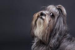 Bichon havanese狗 免版税库存照片