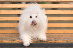 Bichon havanese dog on banch Stock Photography