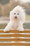 Bichon havanese dog on banch Stock Photos