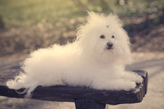 Bichon havanese dog on banch in the park Royalty Free Stock Photos